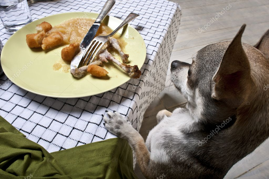 Chihuahua standing on hind legs to look at leftover meal on dinner table    #10892969