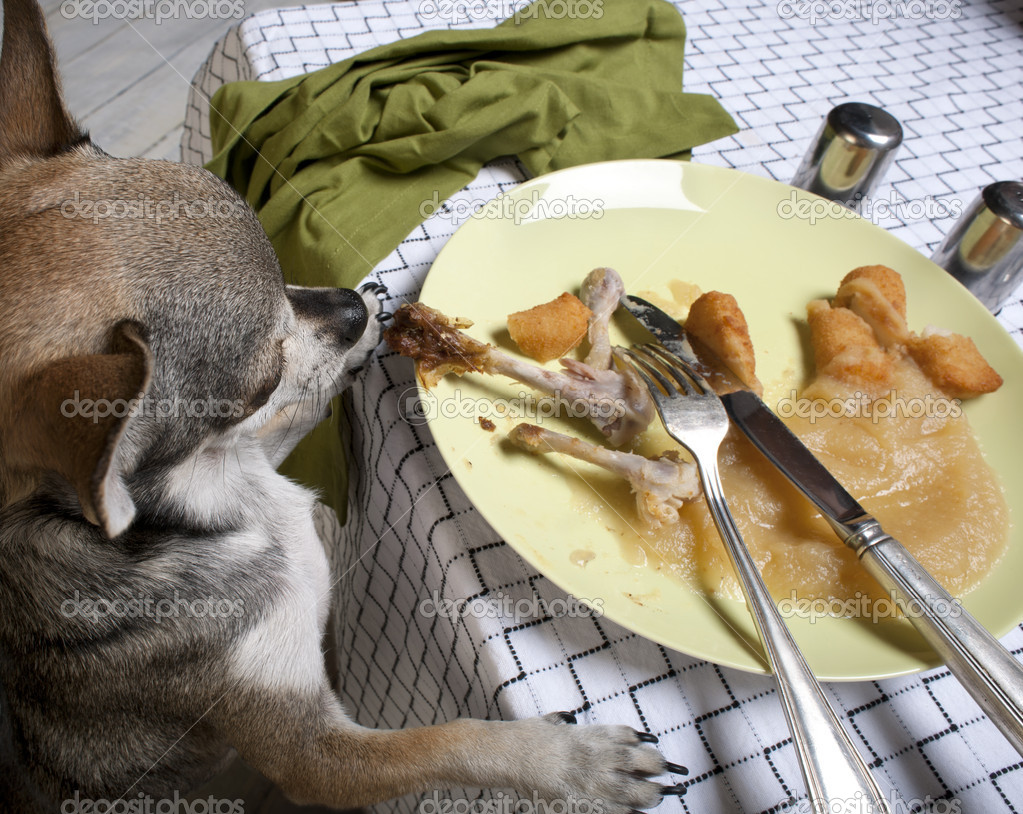 Chihuahua standing on hind legs to look at leftover meal on dinner table  Foto de Stock   #10892978