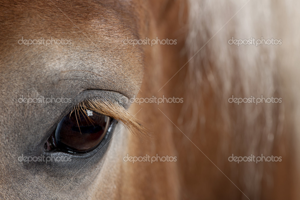 Horse Breeding up Close Close up of Belgian Horse