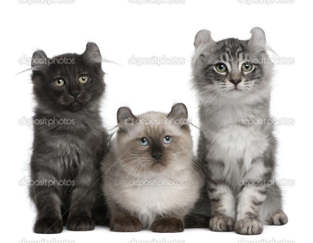Three American Curl Kittens, 3 months old, sitting in front of white background — Stock Photo #10893427