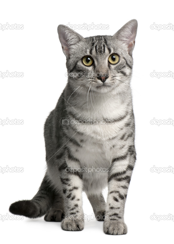 Egyptian Mau Cat, 7 months old, sitting in front of white background  Stock Photo #10893460