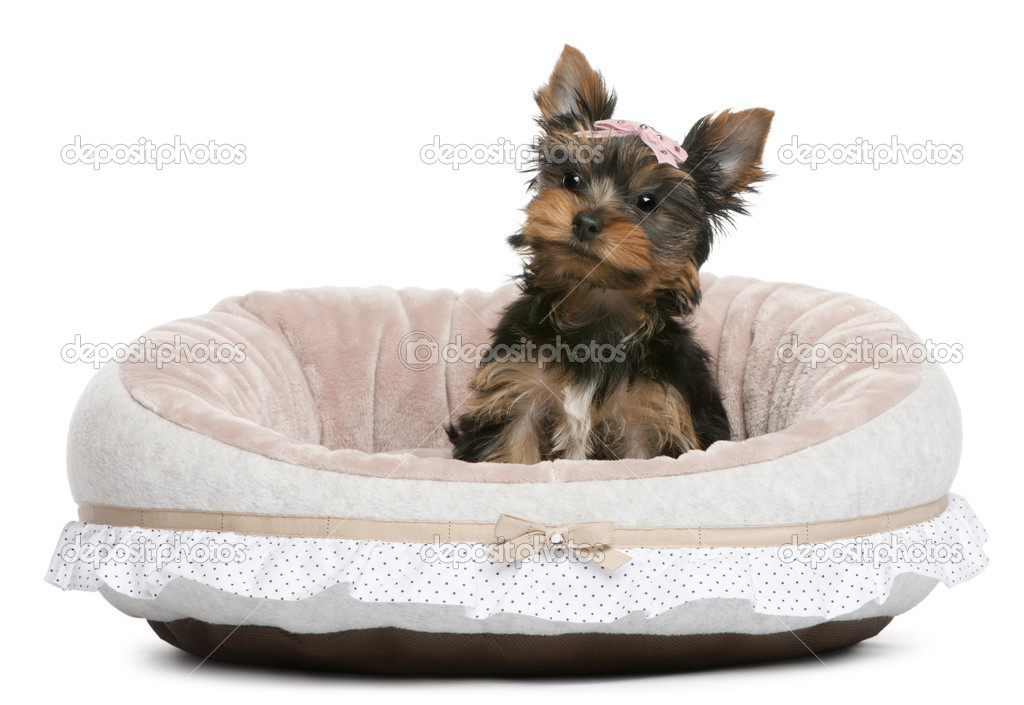 Yorkshire Terrier puppy, 2 months old, sitting in front of white background — Stock Photo #10894397