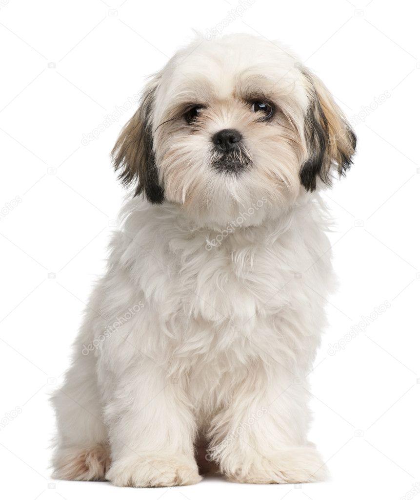 Shih tzu cachorro, 6 meses de edad, sentado frente a fondo blanco ...