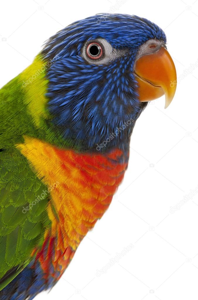Rainbow Lorikeet, Trichoglossus haematodus, 3 years old, in front of white background  Stock Photo #10894708