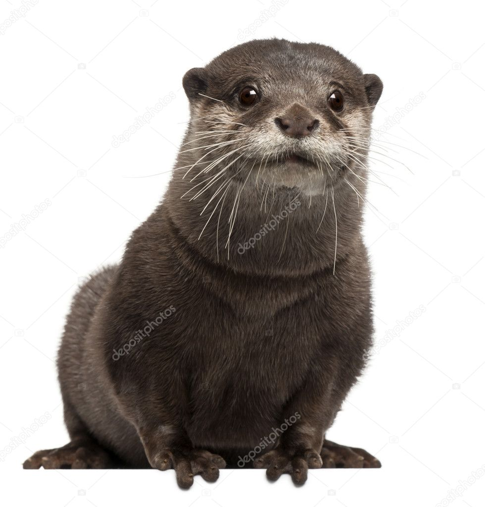 Oriental small-clawed otter, Amblonyx Cinereus, 5 years old, sitting in front of white background — Stock Photo #10895085