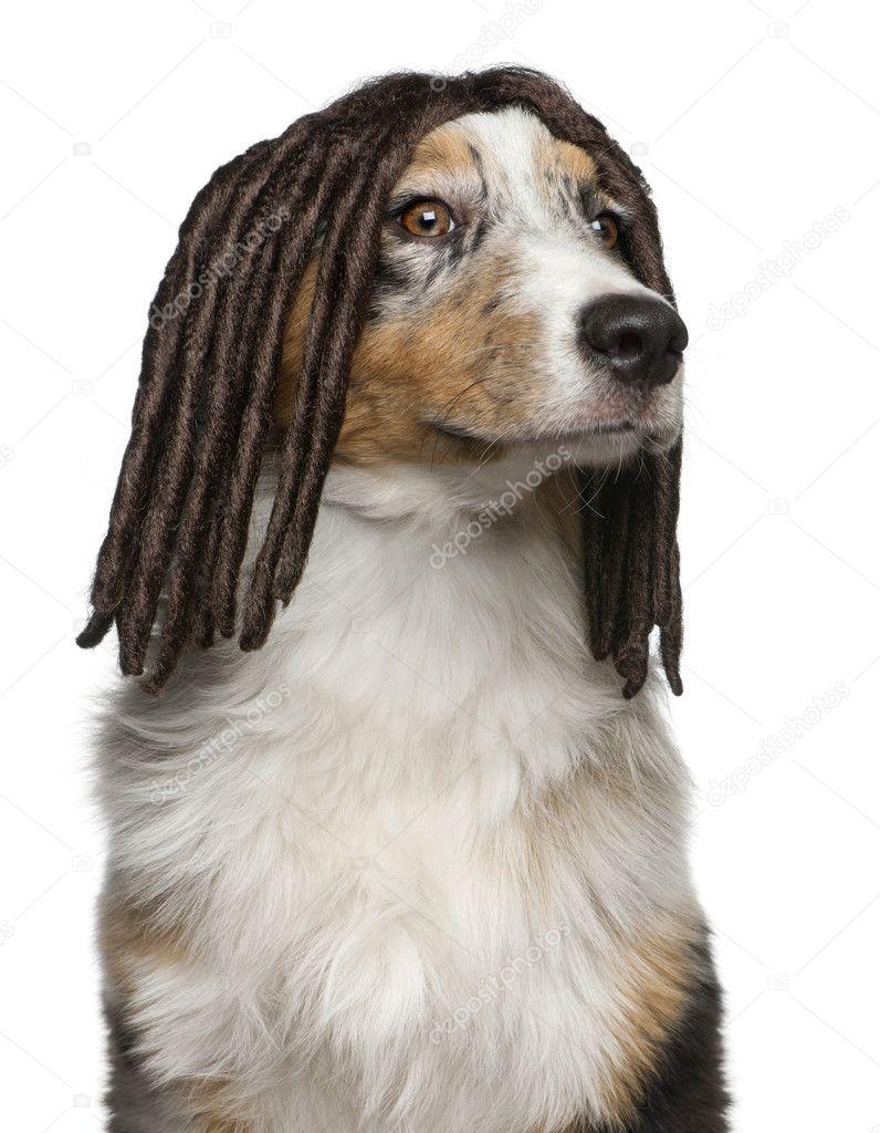 Australian Shepherd puppy wearing a dreadlock wig, 5 months old, in ...