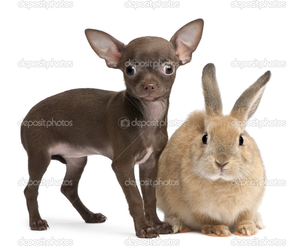 Chihuahua puppy, 10 weeks old, and rabbit in front of white background — Stock Photo #10895499