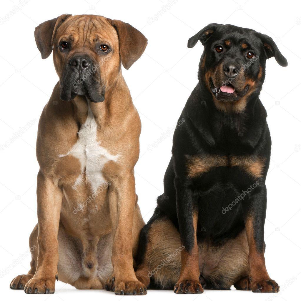 Cane Corso Rottweiler E Shih Tzu Você De Olho Em Tudo Picture