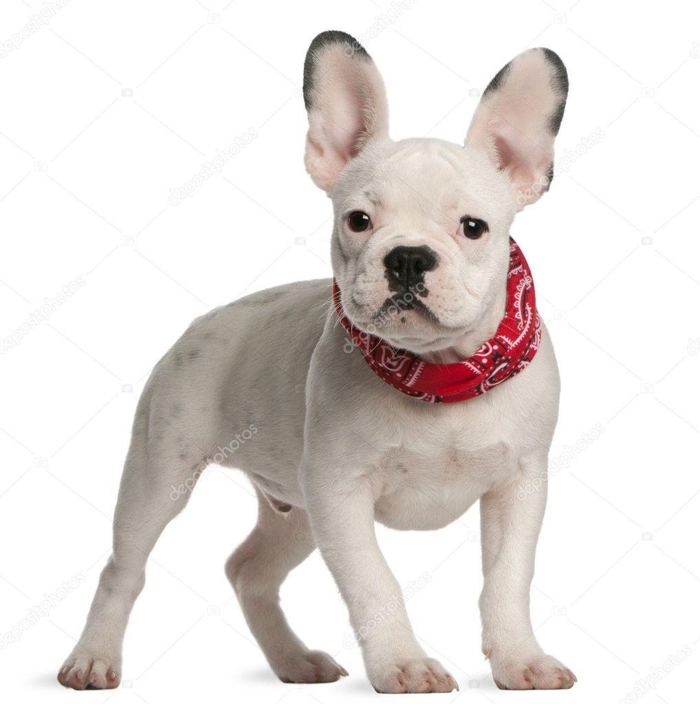 de bulldog francés, 4 meses de edad, frente a fondo blanco — Foto ...