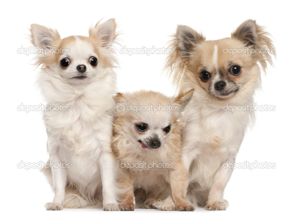 Three Chihuahuas sitting in front of white background — Stock Photo #10896271