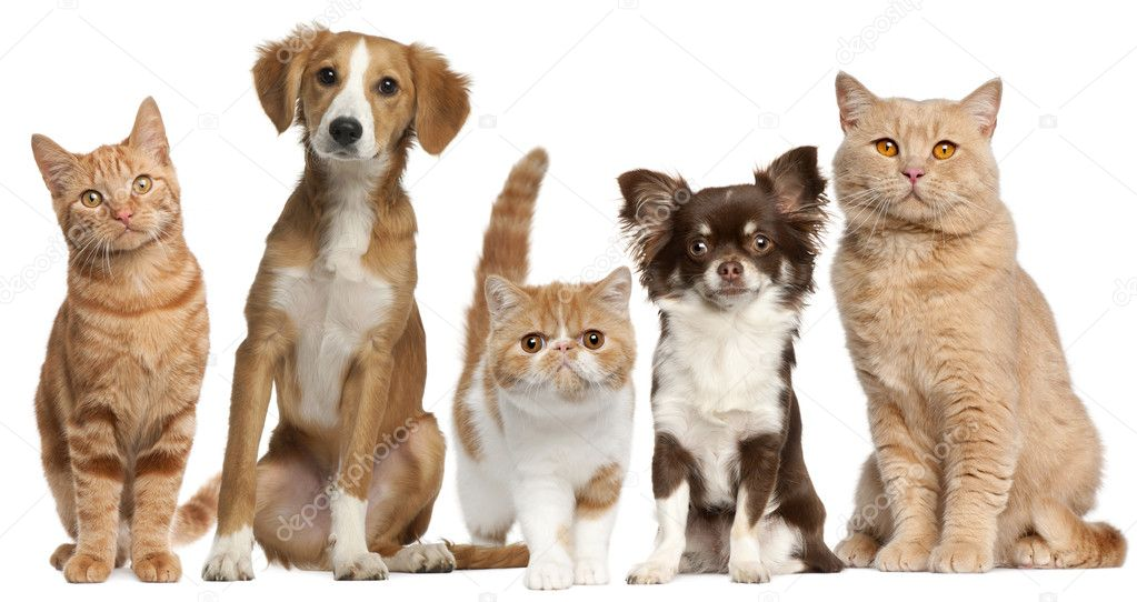 Group of cats and dogs in front of white background  Stock Photo #10897402