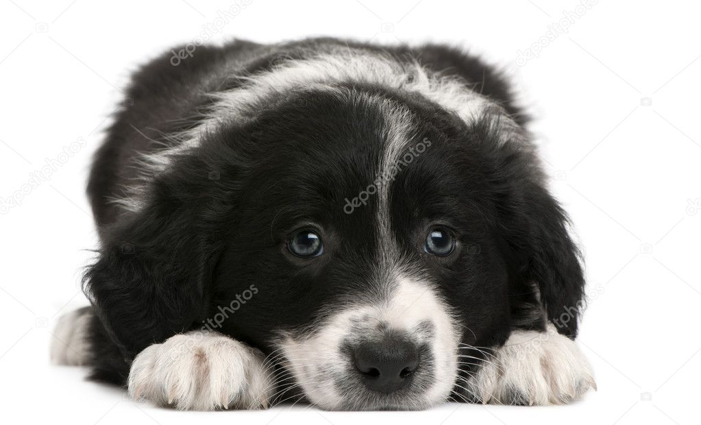 Border Collie puppy, 6 weeks old, lying in front of white background  Stock Photo #10898144