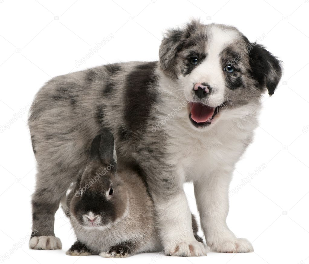 Blue Merle Border Collie puppy, 6 weeks old, and a rabbit in front of white background  Stock Photo #10898155