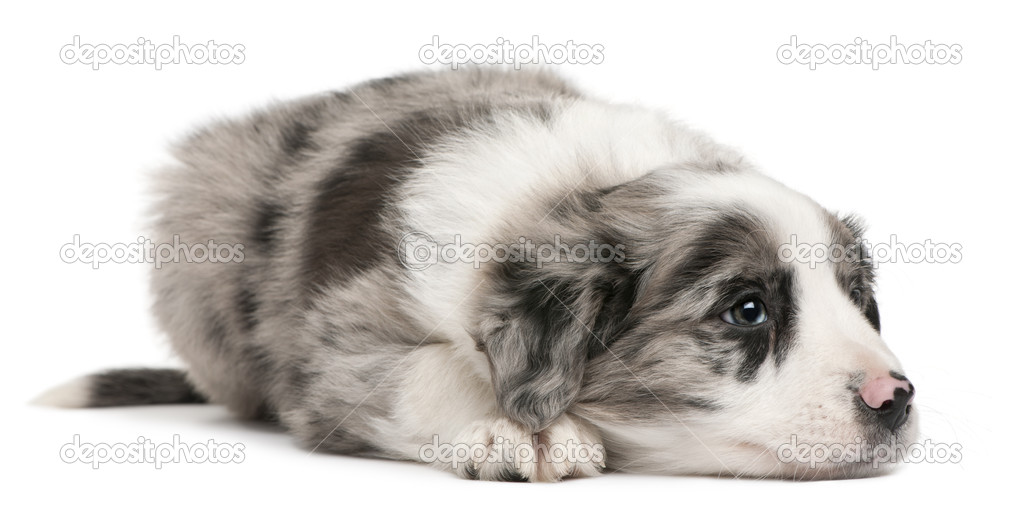 Border Collie puppy, 6 weeks old, lying in front of white background — Stock Photo #10898159