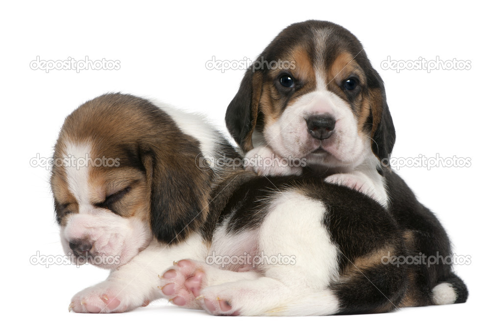 Show Me A Picture Of A Beagle Dog