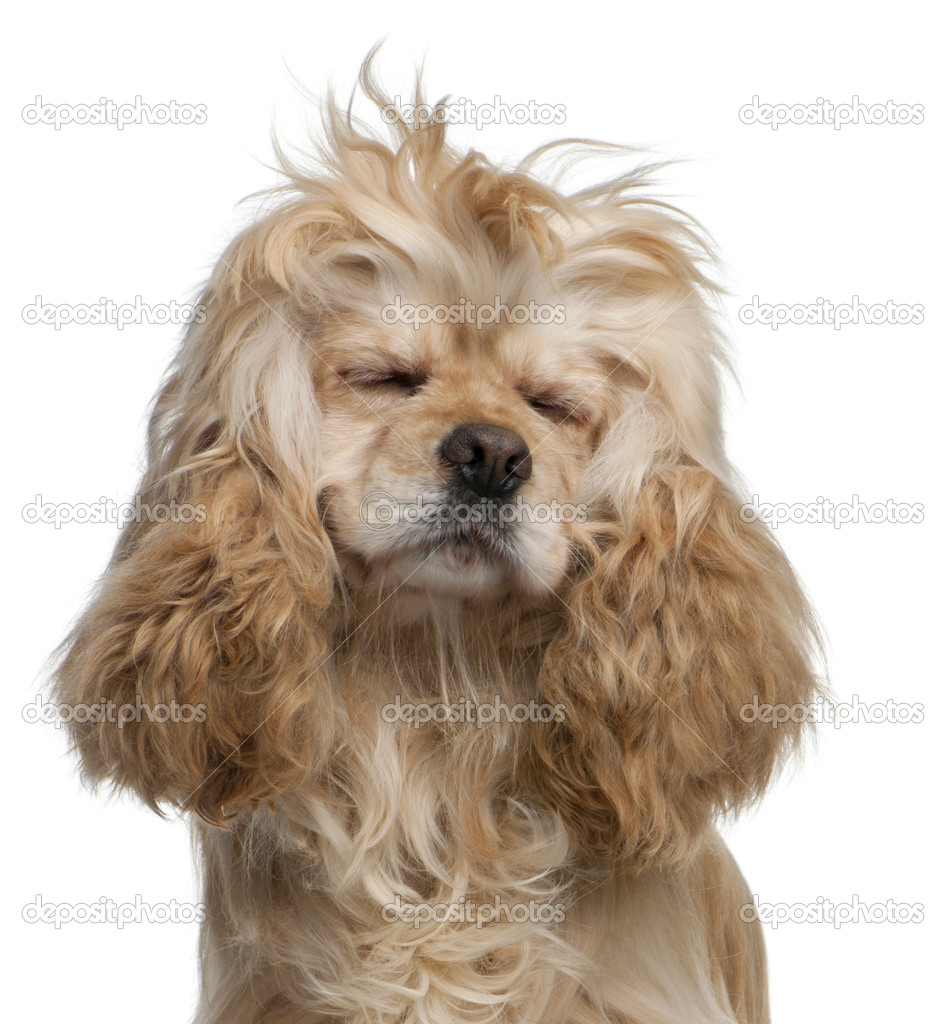 American Cocker Spaniel, 3 years old, with eyes closed in front of white background — Stock Photo #10898929