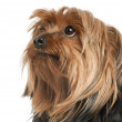 Close-up of Yorkshire Terrier, 5 years old, in front of white background — Stock Photo
