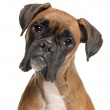 Close-up of Boxer, 12 months old, in front of white background — Stock Photo #10900369