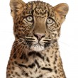Stock Photo: Leopard, Pantherpardus, 6 months old, lying in front of white background
