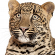 Stock Photo: Leopard, Pantherpardus, 6 months old, sitting in front of white background