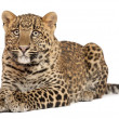 Stock Photo: Leopard, Pantherpardus, 6 months old, standing in front of white background