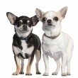 Two Chihuahuas in front of white background — Stock Photo