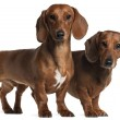 Dachshunds, 4 years old and 7 months old, standing in front of white background — Stock Photo #10901358