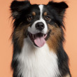 Close-up of Australian Shepherd, 2 years old, in front of orange background — Stock Photo