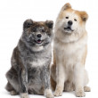 Akita Inu, 7 years old and 4 years old, sitting in front of white background — Stock Photo #10901545