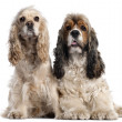 Stock Photo: Two AmericCocker Spaniels, 1 and 2 years old, in front of white background
