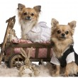 Chihuahua couple, 2 years old, dressed up and sitting in dog bed wagon with stuffed animals in front of white background — Stock Photo #10901595