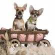 Stock Photo: Chihuahua puppies, 3 months old, sitting in dog bed wagon with stuffed animals in front of white background