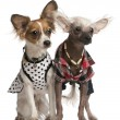 Dressed up Chinese Crested Dogs, 2 years old and 8 months old, i - Stock Photo