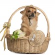 Chihuahua, 3 years old, sitting in baskets with hats in front of white background — Stok fotoğraf