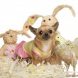 Chihuahua dressed up and standing with Easter stuffed animals in - Stock Photo