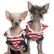 Chinese Crested puppy, 4 months old, and Chinese Crested Dog, 4 years old, dressed in red white and blue in front of white background — Stock Photo