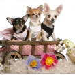 Three Chihuahuas, 1 year old, 8 months old, and 5 months old, sitting in dog bed wagon with Easter stuffed animals in front of white background — Stok Fotoğraf #10901715