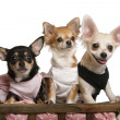 Three Chihuahuas, 1 year old, 8 months old, and 5 months old, sitting in dog bed wagon in front of white background — Photo #10901717