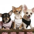 图库照片: Three Chihuahuas, 1 year old, 8 months old, and 5 months old, sitting in dog bed wagon in front of white background