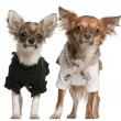 Chihuahua puppies, dressed up, 3 months old and 10 months old, standing in front of white background - Stock Photo