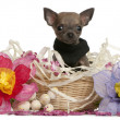 Close-up of Chihuahua puppy sitting in Easter basket with flowers in front of white background — Stock Photo