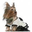 Yorkshire Terrier wearing black and white polka dot dress with hair in the wind, 3 years old, in front of white background — Stock Photo #10901762
