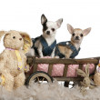 Stock Photo: Chihuahuas wearing denim, 1 year old and 11 months old, sitting in dog bed wagon with stuffed animals in front of white background