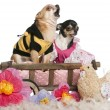 Chihuahuas, 5 years old and 3 years old, dressed up and sitting in dog bed wagon in front of white background - ストック写真