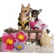 Stock Photo: Chihuahuas, 5 years old and 3 years old, dressed up and sitting in dog bed wagon in front of white background