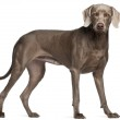 Weimaraner, 12 months old, standing in front of white background — Stock Photo #10901888