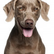 Close-up of Weimaraner, 12 months old, in front of white background — Stock Photo #10901889