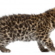 Amur leopard cub walking, Panthera pardus orientalis, 6 weeks ol - Photo