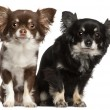 Stock Photo: Chihuahuas, 1 and 2 years old, in front of white background