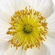 White Alpine poppy, Papaver alpinum, close up — Stock Photo
